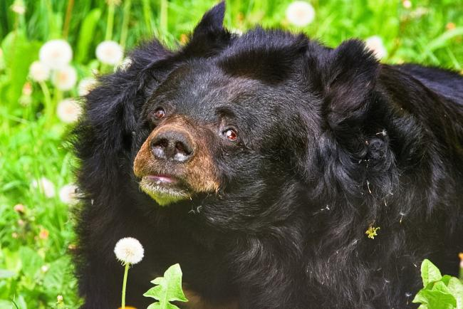 Inca, Dudley Zoo's record-breaking Asiatic black bear