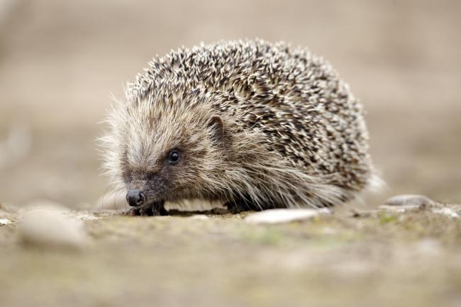 Amazingly nearly a third of people in the survey had never seen a hedgehog. Picture: MikeLane45/ Getty Images