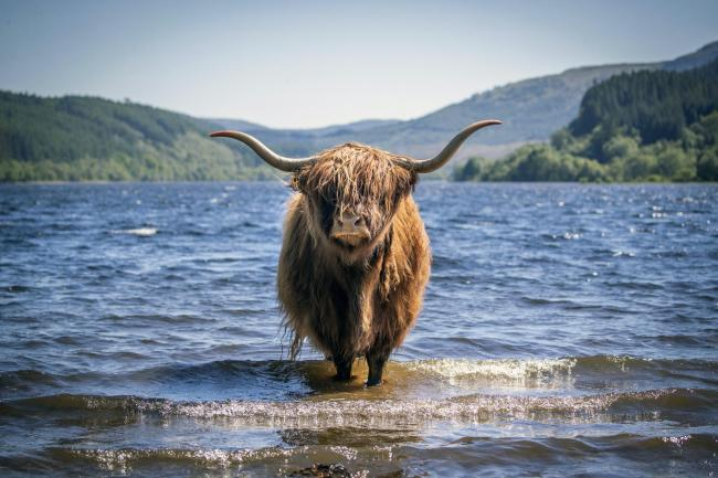 A Highland cow cools off in the waters of Loch Lubnaig near Callander, Stirlingshire