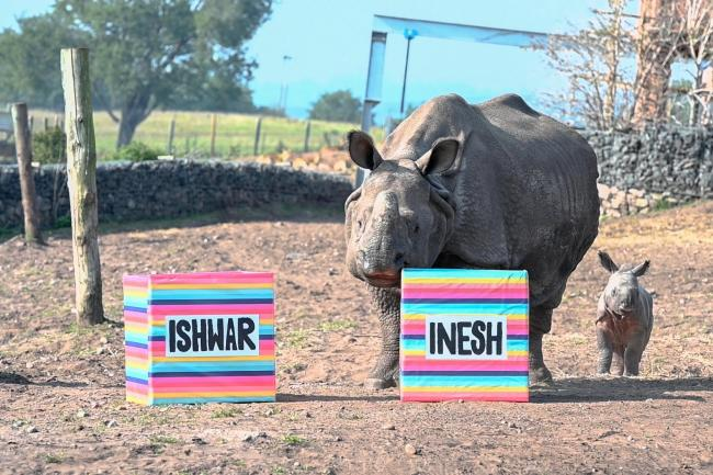 Indian rhino mum Seto chooses the name of her calf at West Midland Safari Park