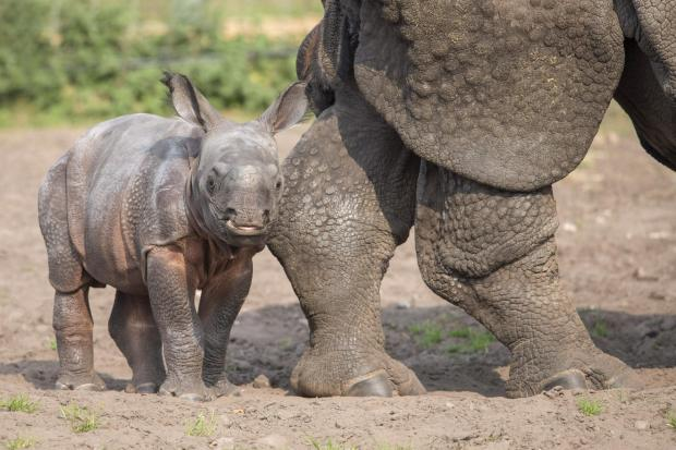 Dudley News: Baby rhino Inesh is settling in well at the park