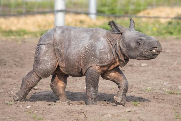 Dudley News: Visitors may have spotted Inesh venturing out with his mum into the park's Rhino House paddock