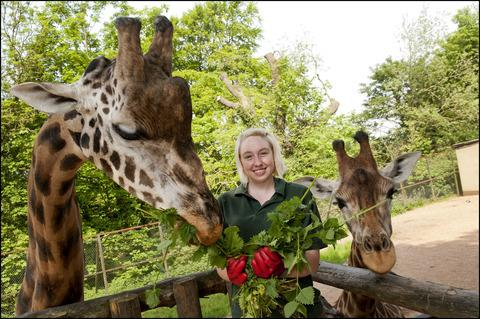 Senior keeper Laura Robbins feeds nettles to the zoo's rare Rothschild giraffes