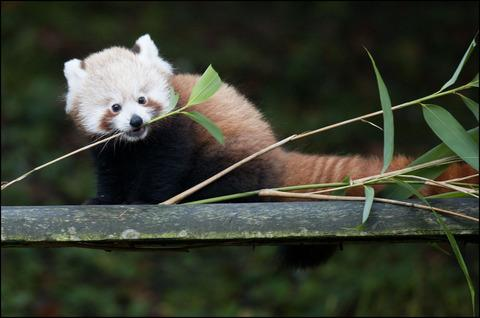 Introducing baby Jasper - Dudley Zoo's latest red panda