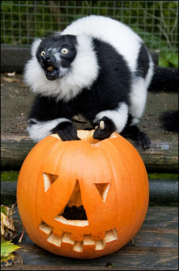 Dudley Zoo animals get into the Hallowe'en spirit