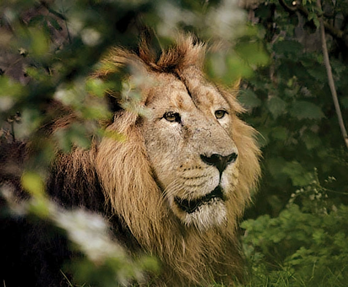 Mwamba the lion whose death was announced earlier this week