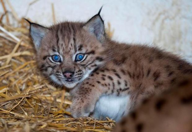 Dudley News: One of the zoo's first Carpathian lynx triplets