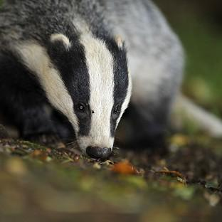 The Badger Trust sought a court ruling to block a new cull in Gloucestershire and Somerset wi