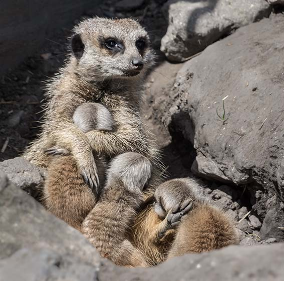 Dudley Zoo launches competition to name the baby meerkats