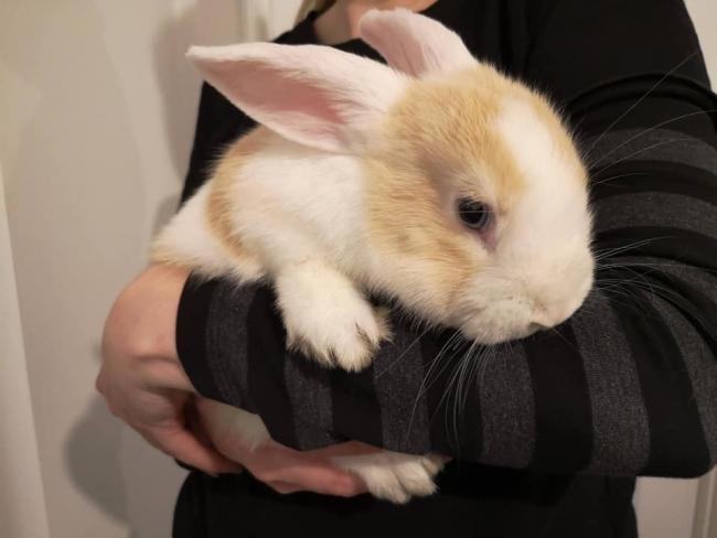 5a7e62d17 Pacake the rabbit is doing well after her ordeal. Photo: Stourbridge and  District RSPCA